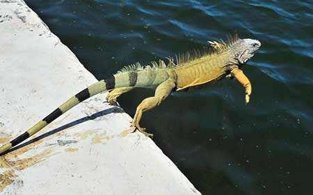 image ایکوانایی در حال پریدن به برکه ای فلوریدا