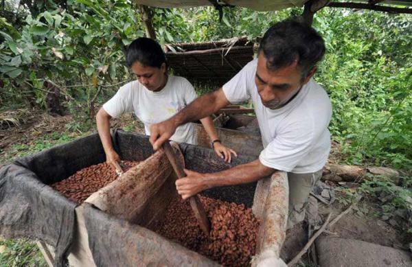 عکس, گزارش تصویری از مراحل تهیه کاکائو