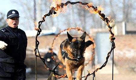 image, آموزش سگ های پلیس در استان شاآنشی چین