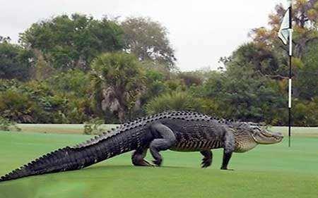 image, پیاده روی یک تمساح در زمین گلف آمریکا