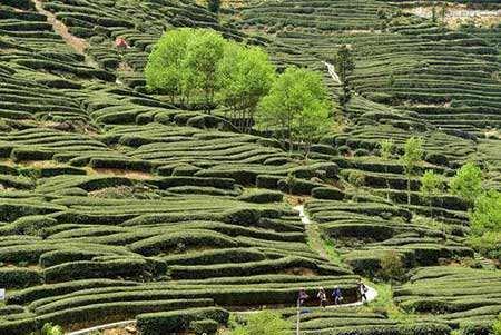 image, مزرعه کشت چای در استان جینگشان چین