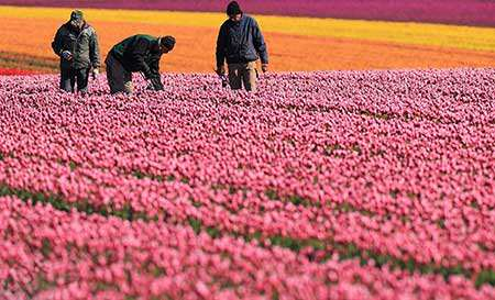 image مزرعه زیبای گل در شوانبرگ آلمان