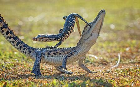 image, شکار لحظه بازی مارمولک با یک تمساح