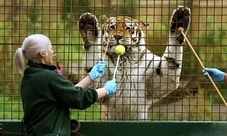 image تربیت ببر ۱۳ ساله سیبری در باغ وحش اسکاتلند
