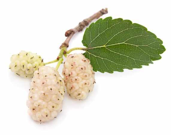 image تاثیرات مفید توت سفید برای سلامتی بدن