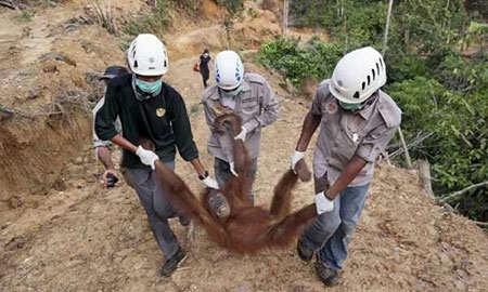 image, نجات میمون توسط نیروی محیط زیست اندونزی