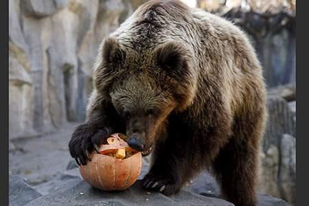 image, کدو تنبل خوردن بامزه یک خرس بزرگ و قهوه ای