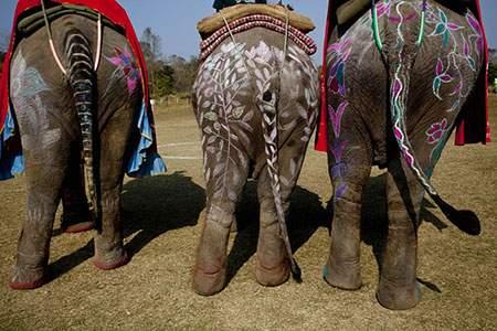 image نقاشی روی بدن فیل ها مراسم سنتی نپال
