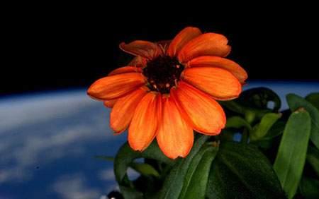image عکس دیدنی گل پرورش یافته و رشد کرده در فضا
