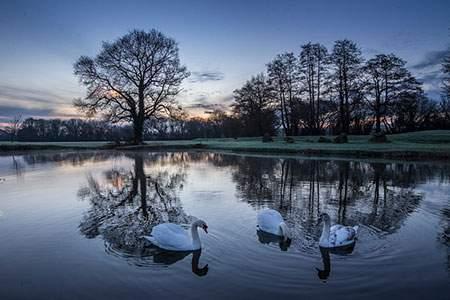 image, عکس زیبای شنای قوهای سفید در دریاچه هنگام غروب