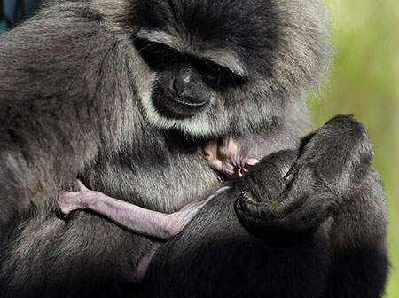 image عکس زیبای محبت میمون مادر به میمون بچه