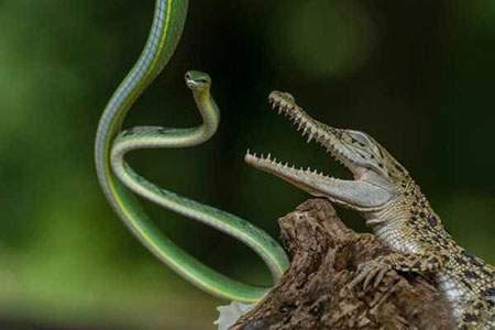 image, شکار لحظه جدال مرگبار کروکدیل با مار درختی
