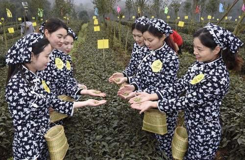image, عکس جشنواره زیبای چای بهاره در ییبین چین