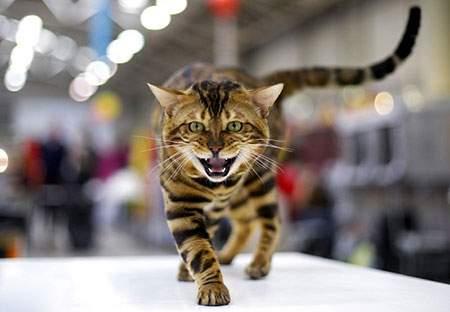 image, عکسی زیبا از با ابهت ترین گربه دنیا در ایتالیا