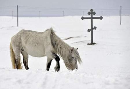 image تصویر اسب وحشی سفید در برف سفید زمستانی