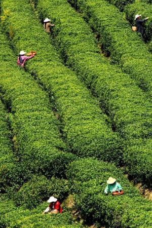 image تصویر زنان کشاورز چینی در برداشت برگ چای