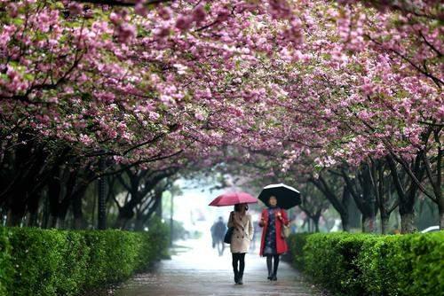 image منظره ای دیدنی از درختان پرشکوفه دانشگاه شیان چین