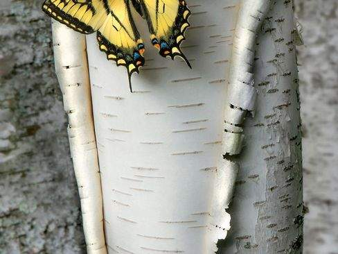 image عکس بال های زیبای یک پروانه بر روی تنه درخت