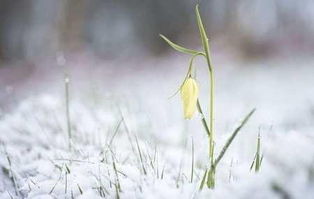 image عکس گل لاله زرد زیبا در میان برف های سفید