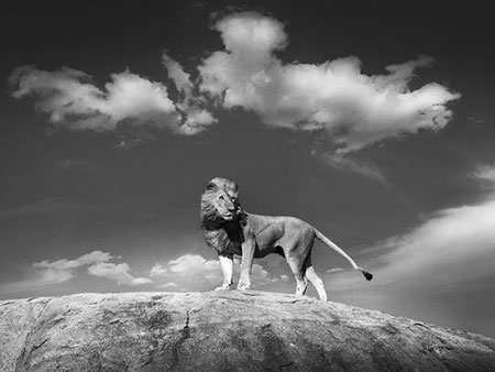 image عکس سیاه و سفید شیری با ابهت روی صخره
