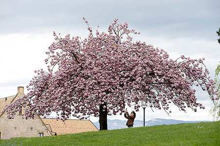 image عکس زیبای شکوفه های بهاری در ژنو سوئیس