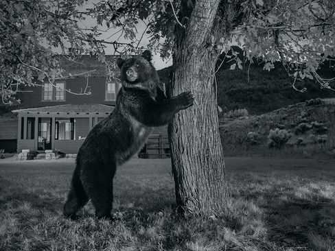 image عکس دیدنی خرس گریزلی کنار درخت سیب پارک ملی آمریکا