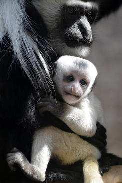 image عکس مادر و بچه میمون در کنار هم