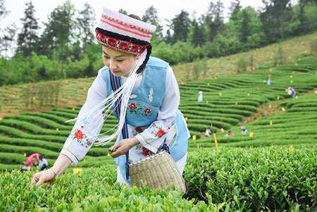 image تصویر زیبای زنی چینی هنگام چیدن برگ های چای