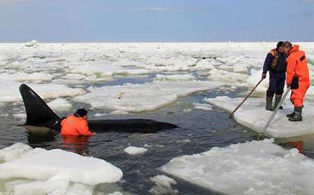 image, تصویر دیدنی گیر افتادن نهنگ میان یخ ها جزیره ساخالین روسیه