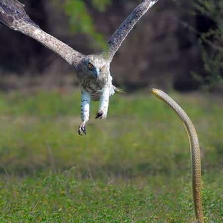 image تصویر زیبای لحظه جدال مار و عقاب با هم
