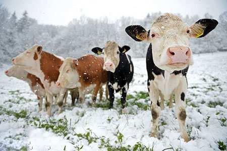 image عکس جالب گاوهای بامزه در سرزمین برفی