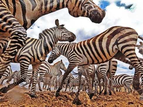 image, عکسی بسیار زیبا و دیدنی از گورخرها