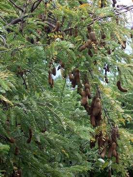 image عکس های بسیار دیدنی و جالب از درخت تمبر هندی