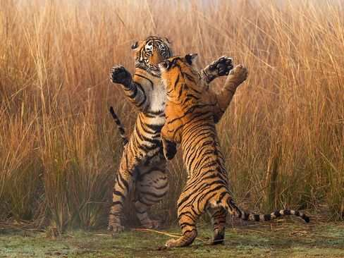 image عکس نبردی جنجالی ببرهای بنگال در راجستان هند