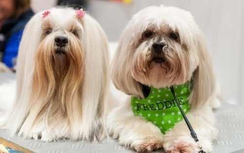 image دو سگ ناز و بامزه خانگی در نمایشگاه سگ های لندن