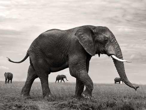 image, عکس از یک فیل زیبا در صحرا سیاه و سفید