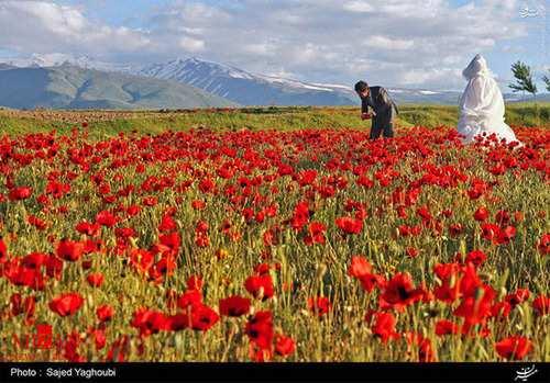 image, تصاویر زیبای دشت گل های شقایق دامنه های کوه سبلان اردبیل