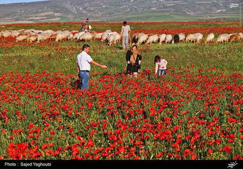 image تصاویر زیبای دشت گل های شقایق دامنه های کوه سبلان اردبیل