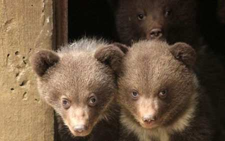 image تصویر زیبای سه توله خرس تازه متولد شده اسپانیا