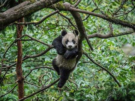 image, عکسی از یک پاندای خسته روی شاخه درخت