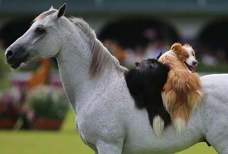 image عکس بامزه سواری گرفتن سگ ها از اسب در نمایشگاه اسب