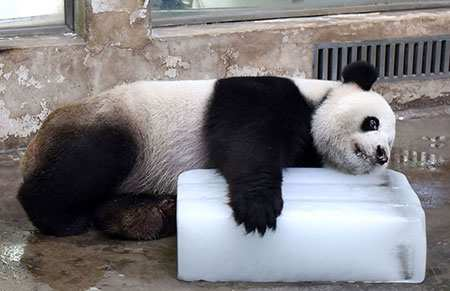 image, عکس پاندایی که به خاطر گرما روی قالب یخ خوابیده