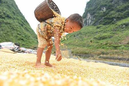 image کودک زیبای کشاورز در حال کمک به پدر برای خشک کردن ذرت