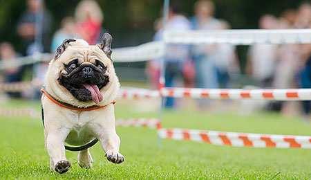 image عکس یک سگ بامزه در حال دویدن با زبان دراز
