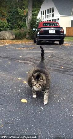 image, عکس گربه چاق و بامزه مشهور اینترنتی