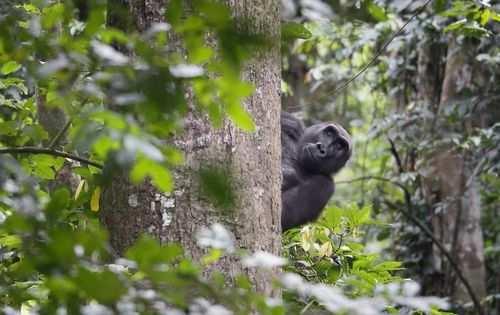 image, عکس یک گوریل بامزه پارک ملی آفریقایی گابن