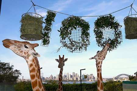 image عکسی زیبا از زرافه های باغ وحش تارونگا سیدنی استرالیا