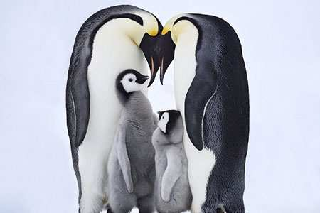 image, عکس زیبایی از خانواده پنگوئن ها پدر و مادر و بچه ها