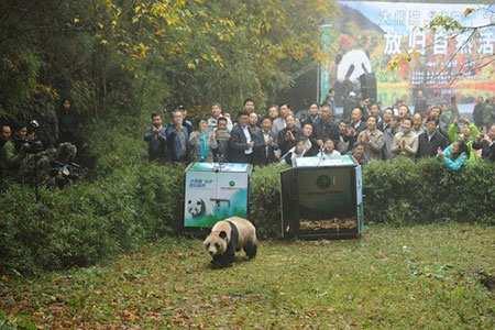 image, تصویر لحظه آزاد کردن پاندای جوان در طبیعت چین
