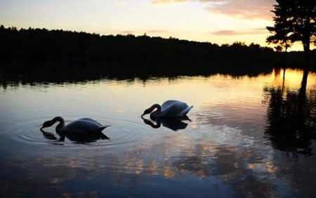 image, تصویری از  دو قوی زیبا هنگام غروب در دریاچه